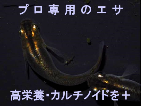 メダカの餌 PRO成魚用【100g】