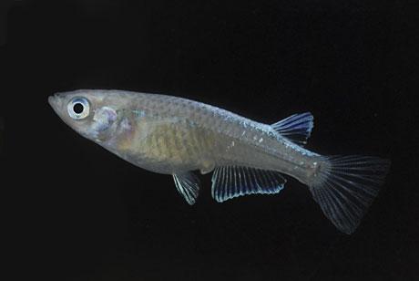 一魚一会 螺鈿光メダカ 10匹セット